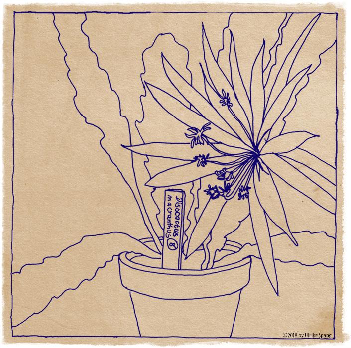 ulrike spang illustration Blumentopf mit Weihnachtskaktus